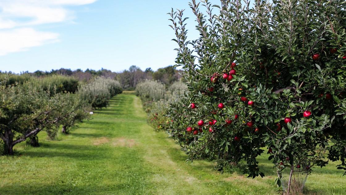 Когда весной высаживают саженцы плодовых деревьев