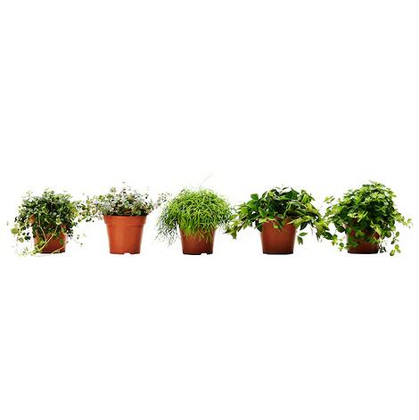 Растение ИКЕА