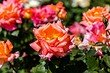Оформление клумбы с розами: полезные советы и 65+ фото красивых композиций