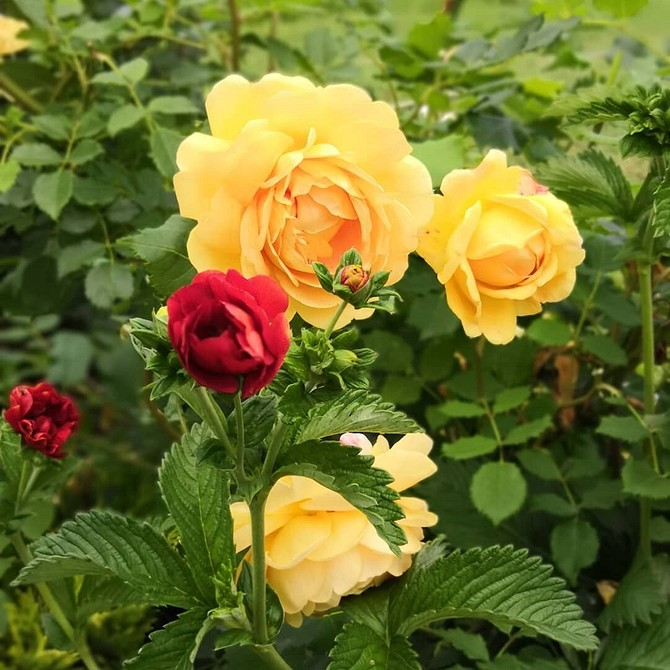 Клумба из роз своими руками: 65 фото оформления и схемы высадки
