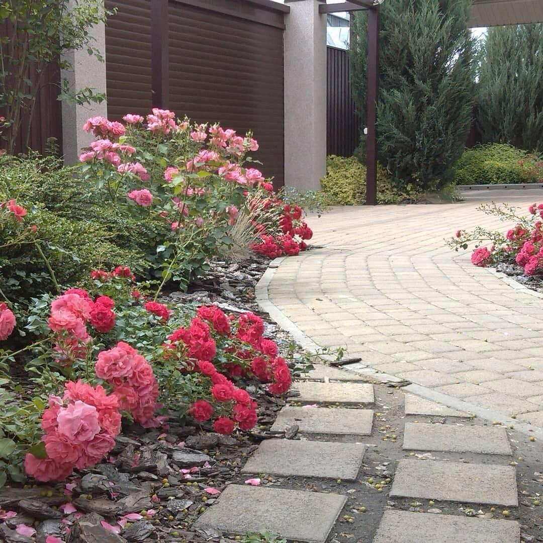 клумбы с розами на даче фото временем