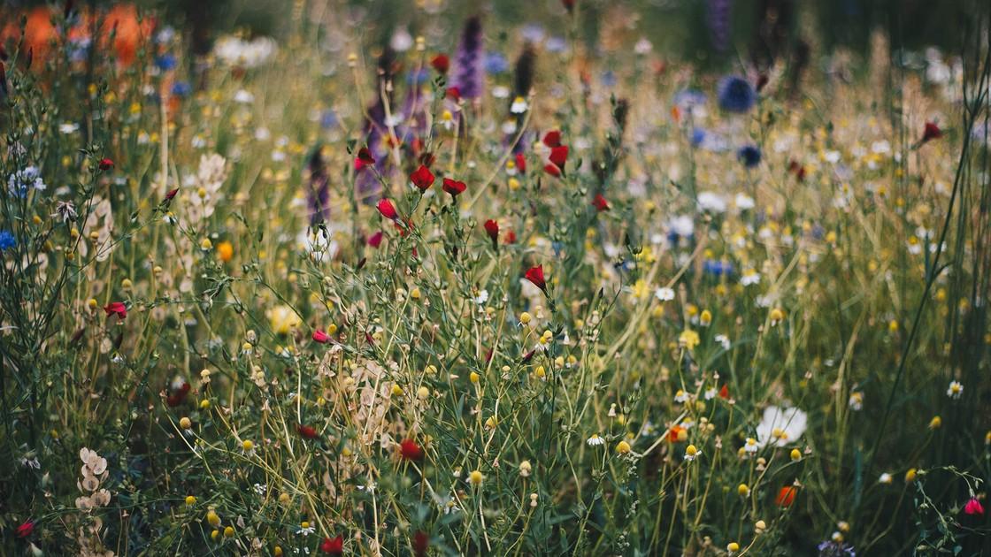 Полезные цветы для сада и огорода, фото