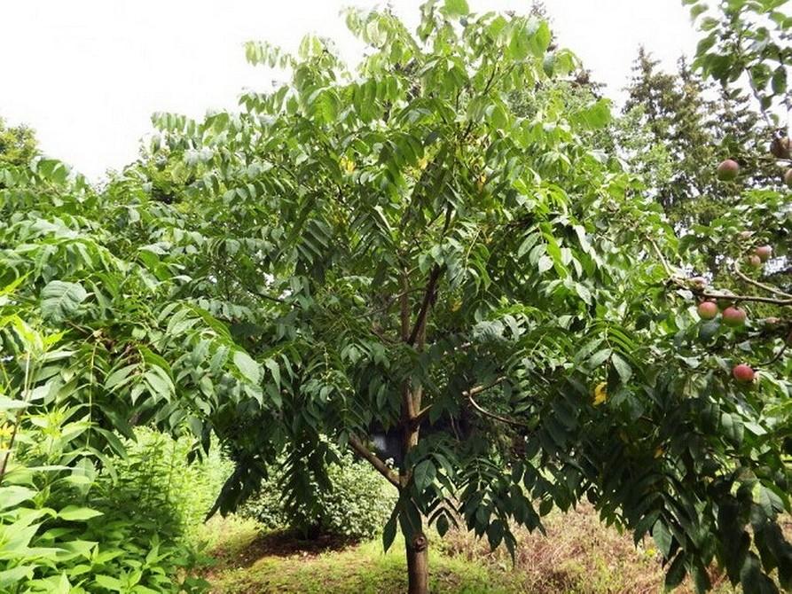 6 деревьев для дачи, которые хорошо приживутся и вырастут без вашего участия