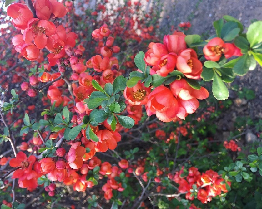 Самые красивые зимостойкие кустарники-многолетники цветущие все лето