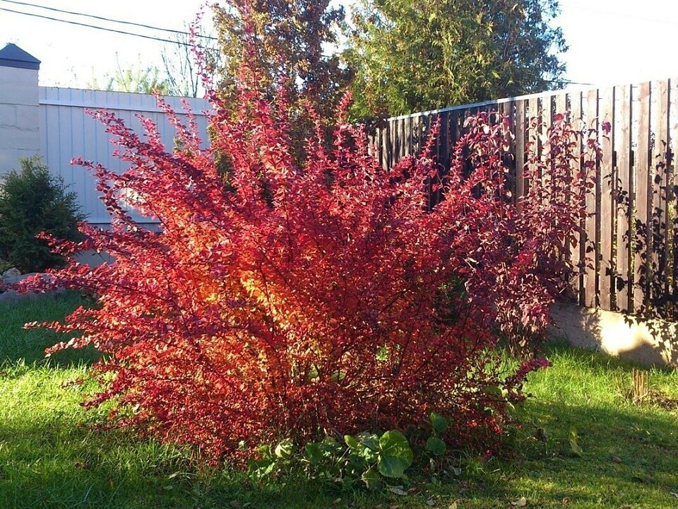 12 зимостойких многолетних кустарников, цветущих все лето