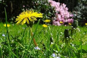 Как бороться с одуванчиками на садовом участке: 7 эффективных способов