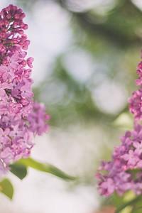 10 красивых дачных кустарников, которые цветут розовыми цветами