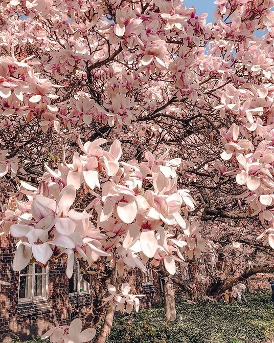 Все кустарники цветущие розовым цветом с названиями и фото
