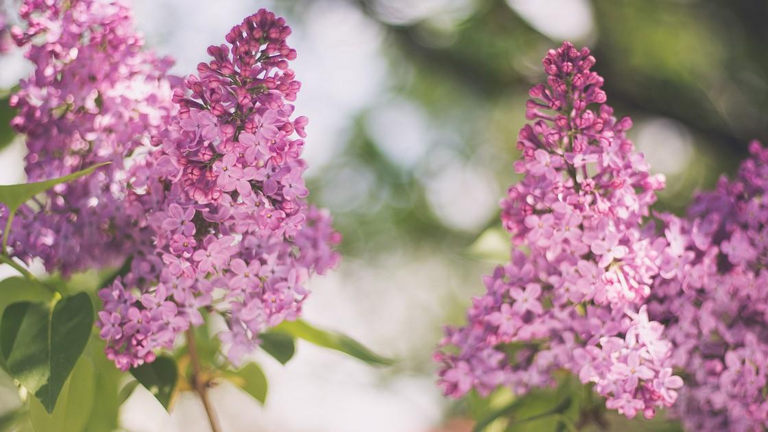 Кустарник с лилово розовыми цветами