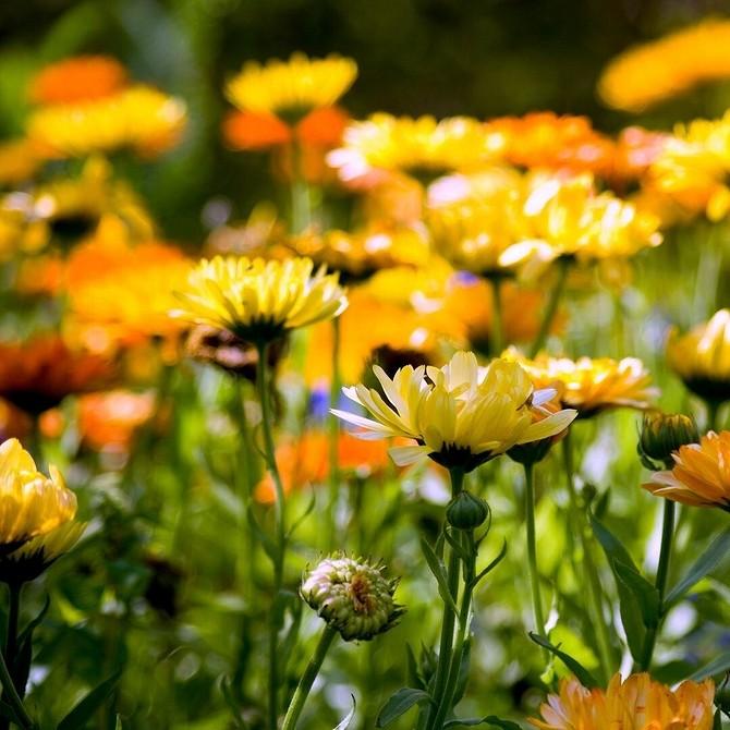 10 дачных растений, которые цветут до самых заморозков