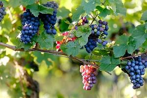 Как сделать шпалеру для винограда своими руками: подробная инструкция