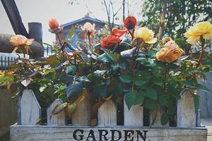 Розы: уход осенью и подготовка к зиме на даче