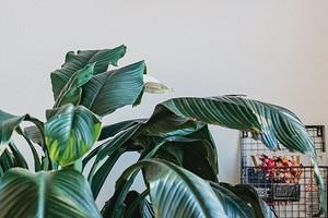 5 растений, которые создадут атмосферу тропиков в обычной квартире