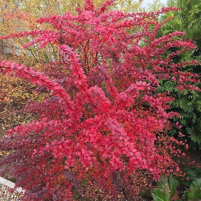 Что посадить вдоль забора на даче: цветы, кустарники, деревья