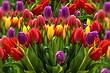 Все о посадке тюльпанов весной: гид, который будет понятен новичкам и полезен опытным садоводам