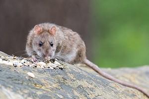 Как избавиться от крыс в частном доме и на участке