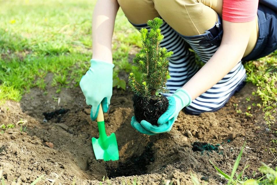 Уход за хвойниками весной: чем подкормить и как обработать от вредителей и болезней