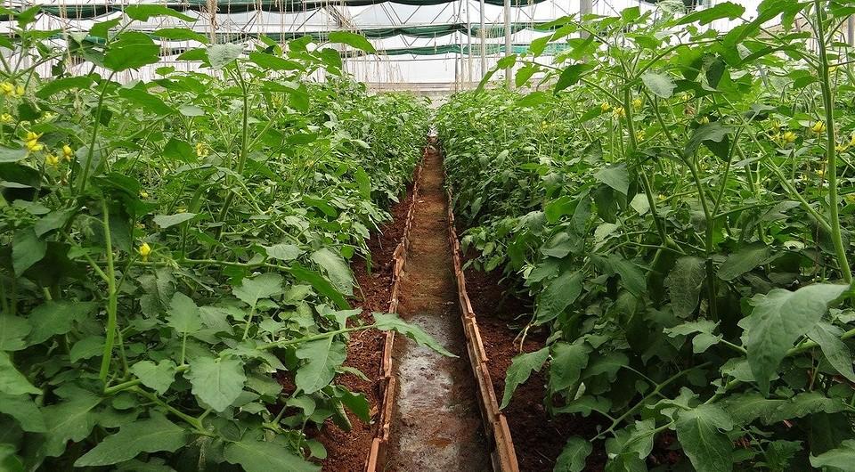 расположение томатов в теплице 3х6