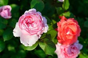 Как сажать розы весной после покупки: подробный гид для садоводов
