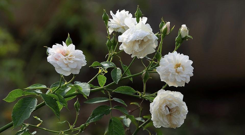 Как садить розы после покупки: посадка покупных саженцев весной