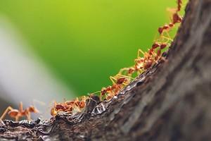Как избавиться от рыжих муравьев на огороде и в доме