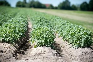 Как избавиться от проволочника в огороде: 7 действенных способов