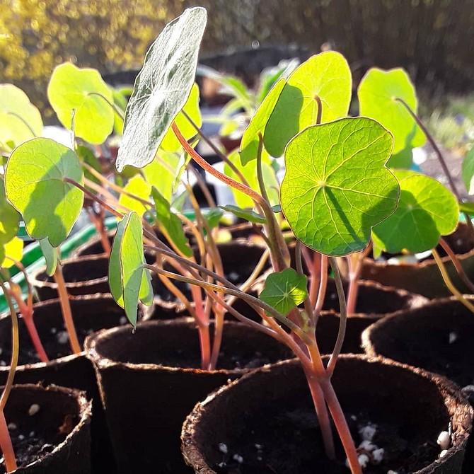 8 растений для дачи, которые вы можете начать выращивать дома и пересадить после на участке