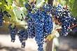 Все о посадке черенков винограда весной в открытый грунт