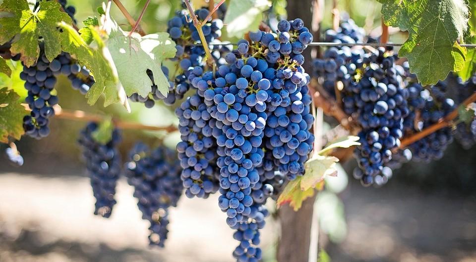 Как посадить виноград весной черенками: правила посадки и выращивания