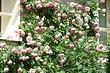 От выбора места до ухода: правильная посадка плетистой розы весной в открытый грунт