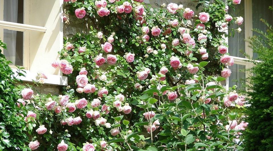 Как посадить плетистую розу весной в открытый грунт: правила посадки и выращивания