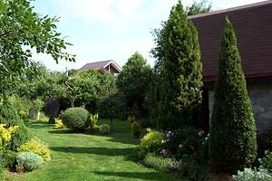 Правильная посадка туи Смарагд на дачном участке и советы по уходу за растением