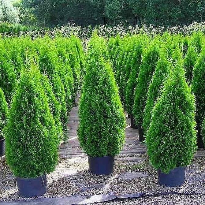 Как посадить тую смарагд весной: правила посадки и выращивания