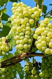 Подробно и пошагово: как посадить виноград саженцами весной