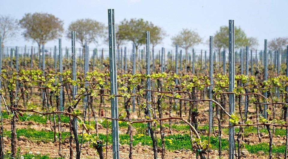 Как посадить виноград весной саженцами: правила посадки и выращивания