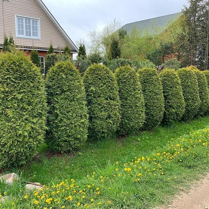 Как посадить тую брабант весной: правила посадки и выращивания