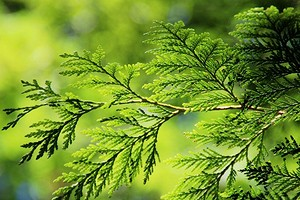 Что делать, если желтеет туя: выясняем причины и лечим растение