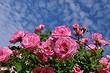 Почему не цветет роза и как это исправить: 10 причин и полезные советы