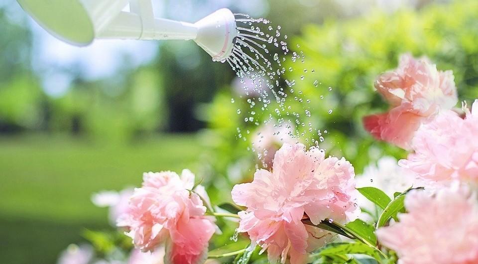 Почему не цветут розы: 10 возможных причин