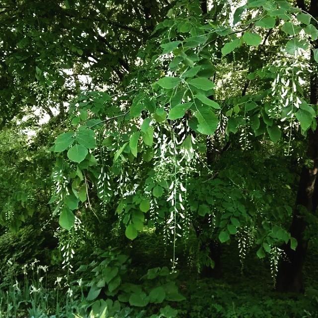 10 экзотических деревьев, которые можно вырастить в средней полосе
