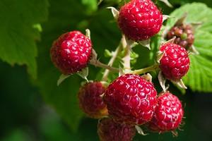 6 неприхотливых ягодных кустарников, которые вы еще успеете посадить