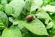 Как избавиться от колорадского жука навсегда