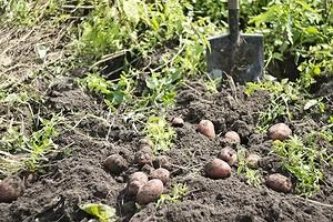 5 подходящих сидератов для картофеля, которые нужно посадить осенью
