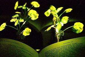 Исследователи из США создали светящиеся растения на замену обычным лампам и фонарям
