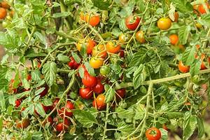 Что сажать после помидоров на следующий год: 6 подходящих культур