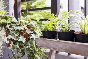 7 вьющихся растений для теплой лоджии