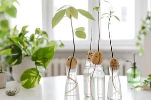 Как вырастить авокадо из косточки в домашних условиях: подробная инструкция