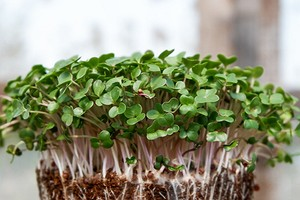 Выращивание микрозелени в домашних условиях: 4 простых способа