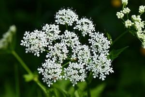 7 съедобных сорняков на даче, которые полезны для здоровья