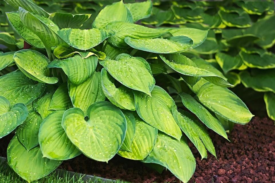 11 растений, которые вытеснят сорняки (дачникам на заметку)